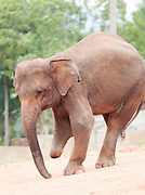 An elephant wounded by a landmine in rehabilitated at the Pinnawela Elephant Orphanage at Kegalle, Sri Lanka