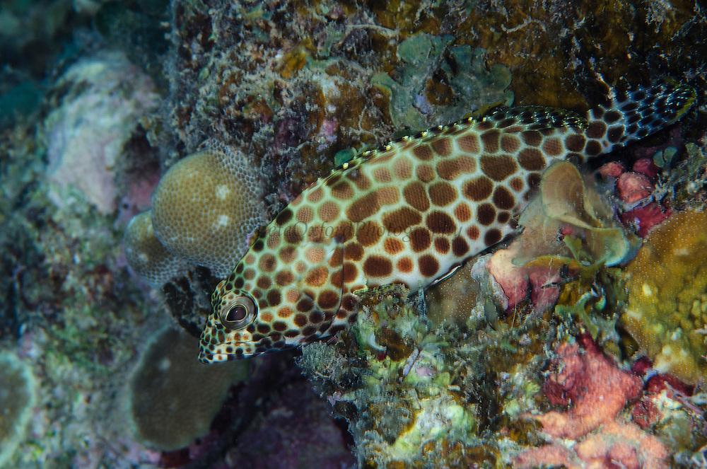 Honeycomb Grouper (Epinephelus merra)<br /> Fiji. <br /> South Pacific