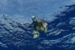 Weissbauchtoelpel oder Brauntoelpel (Sula leucogaster) unter Wasser schauend nach Fisch, Insel Cocos, Costa Rica, Pazifik, Pazifischer Ozean / Brown Bobby (Sula leucogaster), looking under water for fish, Cocos Island, Costa Rica, Pacific Ocean