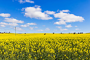Canola crop under blue sky and cloud near Yathella, New South Wales, Australia. <br />
