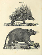 Hystrix - The crested Porcupine and the Long-Tailed Porcupine Copperplate engraving by J. Chapman From the Encyclopaedia Londinensis or, Universal dictionary of arts, sciences, and literature; Volume X;  Edited by Wilkes, John. Published in London in 1811