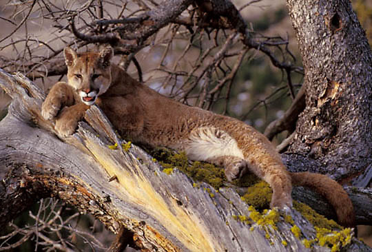 Mountain Lion or Cougar, (Felis concolor) Cub resting in foothills of Rocky mountains. Montana.  Captive Animal.