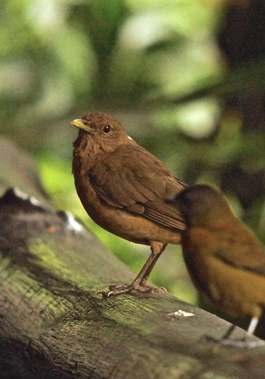 Costa Rica, Female Red-romped Tanager, Arenal Volcano area
