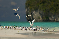 Terns and a Reef Heron rest on a sand islet near Kri Island in the Raja Ampat Islands, Indonesia