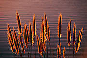 Pampas grass at a reservoir near highway 280 in San Mateo, California.