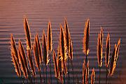 Pampas grass at a reservoir near highway 280 in San Mateo, California.