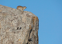 Yellow-spotted Rock Hyrax, Heterohyrax brucei, stands on a rock outcrop in Serengeti National Park, Tanzania. Three agama lizards, Agama sp., are also basking on the rock.
