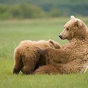Alaskan Brown Bear (Ursus middendorffi) Nursing. Katmai National Park. Alaska.