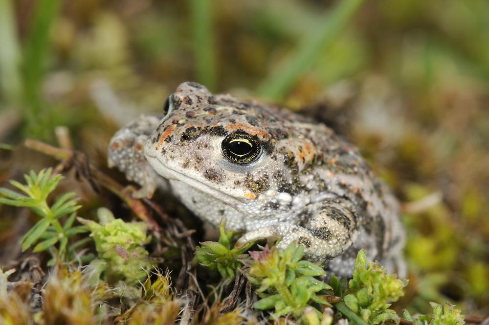 Natterjack Toad - Epidalea calamita