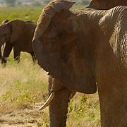African Elephant ( Loxodanta africana) African elephants ears are larger than Indian Elephant. Samburu Game Reserve. Kenya. Africa.