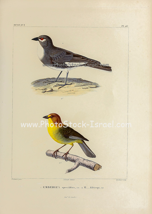 hand coloured sketch Top: white-winged diuca finch (Diuca speculifera [Here as Emberiza speculifera]) Bottom: fulvous-headed brush finch (Atlapetes fulviceps [Here as Emberiza fulviceps]) From the book 'Voyage dans l'Amérique Méridionale' [Journey to South America: (Brazil, the eastern republic of Uruguay, the Argentine Republic, Patagonia, the republic of Chile, the republic of Bolivia, the republic of Peru), executed during the years 1826 - 1833] 4th volume Part 3 By: Orbigny, Alcide Dessalines d', d'Orbigny, 1802-1857; Montagne, Jean François Camille, 1784-1866; Martius, Karl Friedrich Philipp von, 1794-1868 Published Paris :Chez Pitois-Levrault et c.e ... ;1835-1847