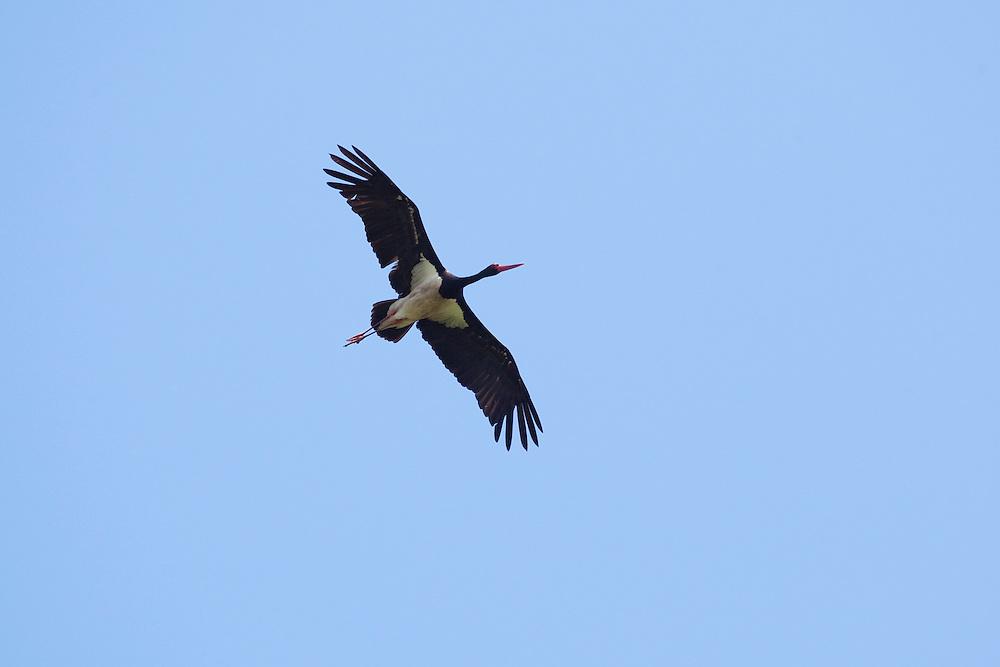 Black Stork soaring, Ciconia nigra, Slovakia, Europe, Schwarzstorch fliegend, Ciconia nigra, Slowakei, Europa