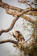 Fish Eagle, Luangwa River Valley Safari, Zambia, Africa