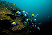"""Sergeant Majors over reef - Coiba Island, Panama. The former penal colony is now  a """"permit only"""" area to visit and explore. In 2005 it became a UNESCO World Heritage Site due to its remarkable proliferance of rare corals and abundance of marine life."""