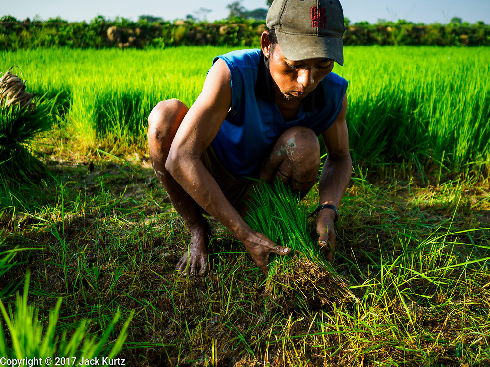 """21 NOVEMBER 2017 - MAUBIN, AYEYARWADY REGION, MYANMAR:  A worker picks baby rice to transplant to a paddy where it will grow to maturity in the Ayeyarwady  Delta. Myanmar is the world's sixth largest rice producer and more than half of Myanmar's arable land is used for rice cultivation. The Ayeyarwady Delta is the most important rice growing region and is sometimes called """"Myanmar's Granary."""" The UN Food and Agriculture Organization (FAO) is predicting that the 2017 harvest will increase over 2016 and that exports will surge to 1.8 million tonnes.  PHOTO BY JACK KURTZ"""