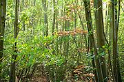 Young Beech Trees, Saplings, Fagus sylvatica, Ranscombe Farm Nature Reserve, Kent UK, native, atmospheric, green