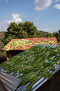 Green vegetable leaves drying on the metal rooftops of small building on the 3rd of March 2020 in Raniswara, Ghairung, Gorkha, Nepal.