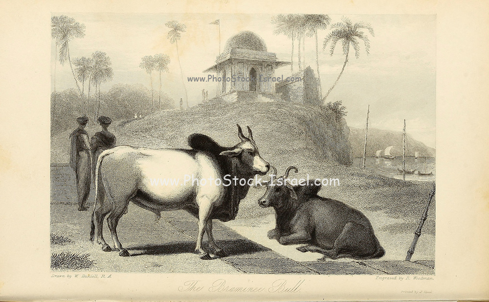 The Braminee Bull From the book ' The Oriental annual, or, Scenes in India ' by the Rev. Hobart Caunter Published by Edward Bull, London 1836 engravings from drawings by William Daniell