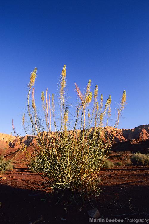 Prince's Plume (Stanleya pinnata) and the Vermillion Cliffs, Glen Canyon National Recreation Area, Arizona