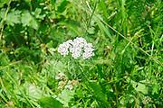 Alpine wildflower, valerian (Valeriana Sp) Photographed in Austria, Tyrol