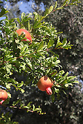 Ripe, red fruit of a pomegranate tree. In many cultures, the pomegranate is a symbol of prosperity and fertility, in the Jewish culture it is one of the symbols of the New Year