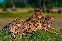 Cheetahs sitting on a mound, near Kwara Camp, Okavango Delta, Botswana.