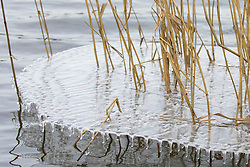 Harefield, UK. 13th February, 2021. Small icicles are formed beneath a sheet of ice around reeds on the edge of the Hillingdon Outdoor Activities Centre lake in the Colne Valley. The current spell of cold weather is expected to be replaced by milder conditions after tomorrow.