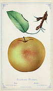 The 'Roxbury Russet' is an apple cultivar, believed to be the oldest apple cultivar bred in the United States, having first been discovered and named in the mid-17th century in the former Town of Roxbury, Massachusetts It is known by several other names including 'Boston Russet', 'Putnam Russet', and 'Sylvan Russet'. Apple Variety from Dewey's Pocket Series ' The nurseryman's pocket specimen book : colored from nature : fruits, flowers, ornamental trees, shrubs, roses, &c by Dewey, D. M. (Dellon Marcus), 1819-1889, publisher; Mason, S.F Published in Rochester, NY by D.M. Dewey in 1872