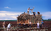 Sugar cane planting in Brazil. Field workers chop stalks of cane, replanting the segments in furrows where they will grow to mature cane plants. Sugarcane, or sugar cane, is one of the several species of tall perennial true grasses of the genus Saccharum, tribe Andropogoneae, native to the warm temperate to tropical regions of South Asia, Melanesia, and used for sugar production.