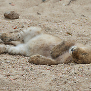 African lion cub sleeping. Londolozi Private Game Reserve. South Africa.