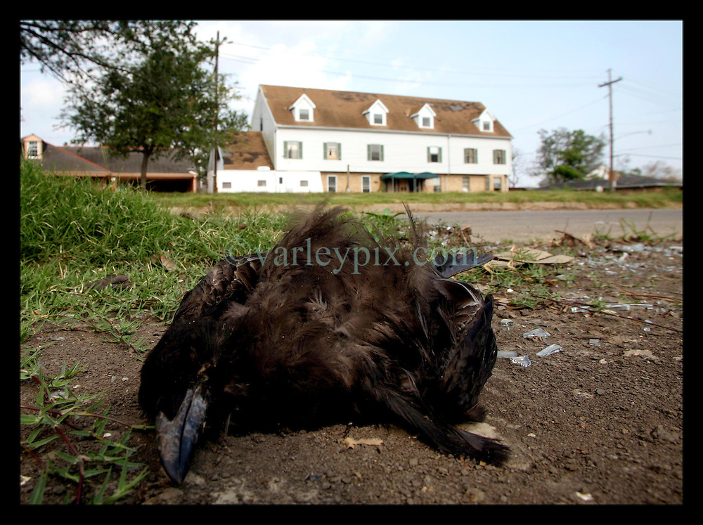 30 May, 2006. Lakeview, New Orleans, Louisiana. A dead crow lies on the pavement close to the 17th Street Canal levee breach in the once affluent, predominantly white neighbourhood of Lakeview. Dead crows can often indicate the presence of West Nile Virus, spread by mosquitos. Lakeview was devastated by flooding after Hurricane Katrina.