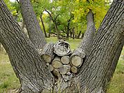 Cordwood nested in Cottonwood Tree,Montezuma County, Colorado