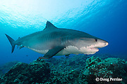 tiger shark, Galeocerdo cuvier, female, with sharksucker or remora under chin, Honokohau, Kona, Big Island, Hawaii, USA ( Central Pacific Ocean )