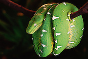 Emerald Tree Boa<br />