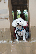 20/07/2018 repro free:  How much is that doggiie in the window.... Sweeney dog from Lackagh at The People Build at Galway International Arts Festival will see hundreds of volunteers, and the general public, create two large-scale and highly ambitious structures solely from cardboard. Under the guidance of artist Olivier Grossetete and his team, the public will transform thousands of cardboard boxes into a structure to replicate St. Nicholas' Church in Galway. It is being constructed on Eyre Square in Galway today. On Sunday July 22 at 6pm the public will join forces in a massive celebratory demolition, which will see the cardboard building come tumbling down. <br /> <br /> A second structure will consist of a cardboard bridge being built at Waterside in Galway. It will be floated on the water, serving as a testimony to Galway's River Corrib Viaduct, once part of the famous Galway to Clifden Railway. The build will take place on Saturday July 21 and will be demolished on Sunday July 22 at 3pm. <br />  . Photo:Andrew Downes, XPOSURE