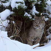 Canada Lynx, (Lynx canadensis) Montana. Under Snowy pine bough. Winter.  Captive Animal.