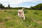 USA, Oregon, Keizer, a Labrador Retriever runs in the dog park.