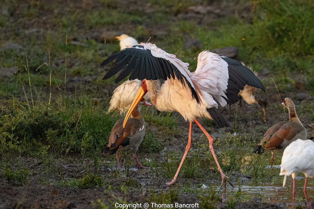 An adult Yellow-billed Stork spreads its wings as it walks onto the shoreline of a small pond in Nairobi National Park.