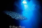 baitfish swirl inside entrance to Swallows Cave,<br /> Vava'u, Tonga, South Pacific