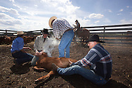 Branding takes place at a South Peace ranch in early May. The annual task includes branding, tagging, innoculating animals and doctoring them if needed.