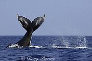 humpback whale, Megaptera novaeangliae, tail slap, Kona, Hawaii, caption must note photo was taken under NMFS research permit #587