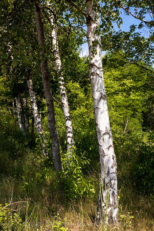 birch trees in the Pionierbecken 2 in the Koenigsforest near Cologne, North Rhine-Westphalia, Germany. The Pionierbecken (pioneer ponds) are former gravel pits.<br /> <br /> Birken im Pionierbecken 2 im Koenigsforst bei Koeln, Nordrhein-Westfalen, Deutschland. Die Pionierbecken sind ehemalige Kiesgruben.
