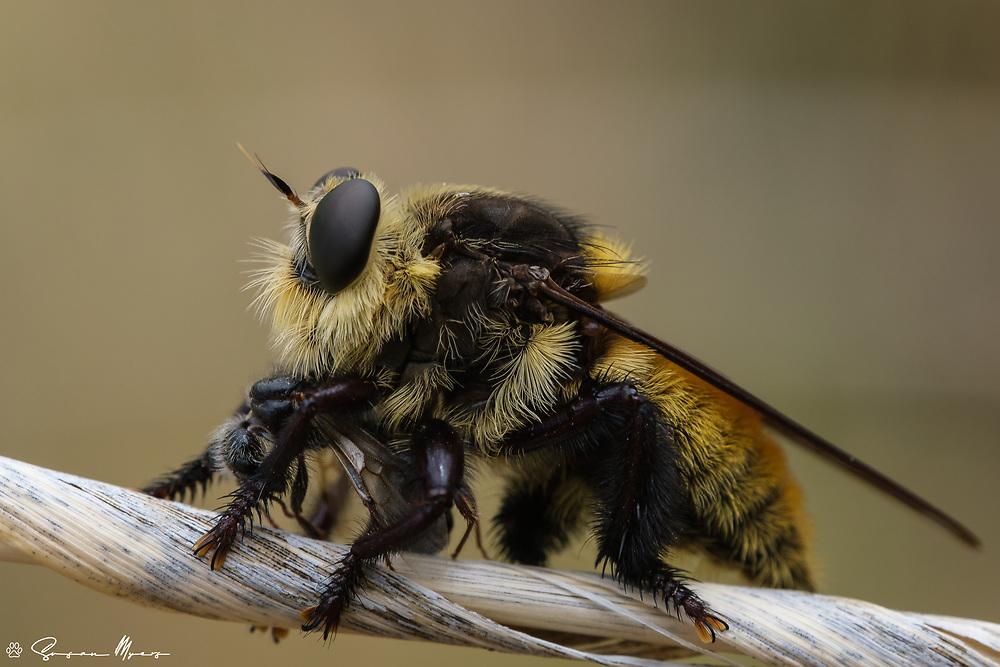 A bumblebee mimic feeding on a bumblebee!<br /> <br /> Arizona, USA