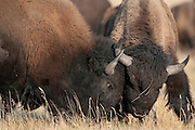 Bison bulls head butt during fall mating season, Grand Teton National Park, WY
