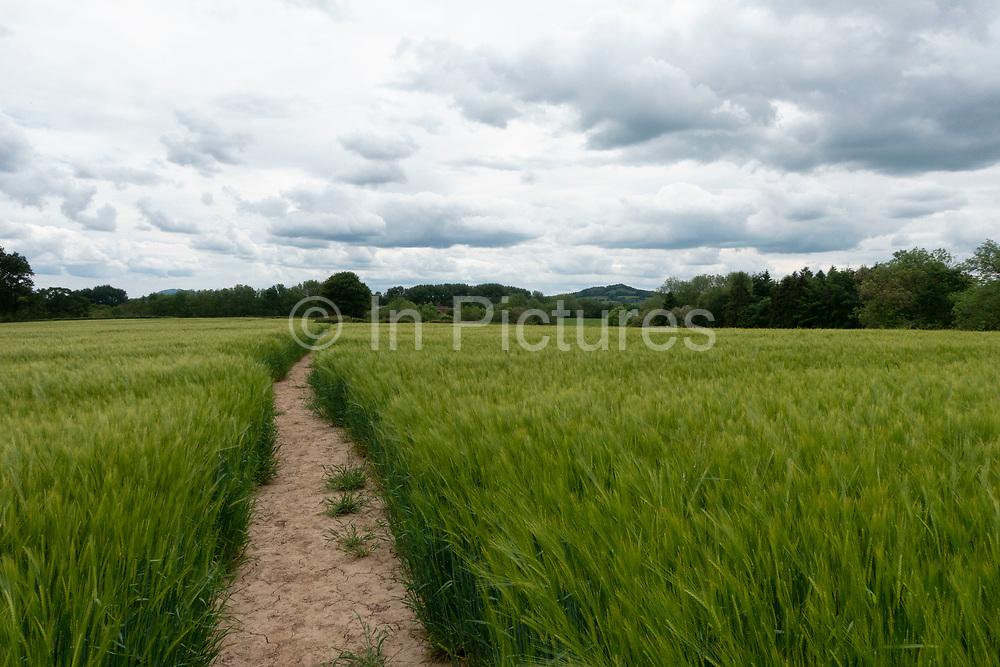English landscape of agricultural barley fields near Martley, England, United Kingdom.