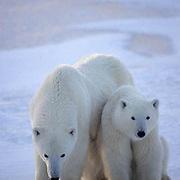 Polar Bear, (Ursus maritimus) Mother and cub. Hudson Bay. Churchill, Manitoba. Canada.