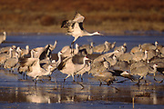 Sandhill Cranes taking off at sunrise.(Grus canadensis).Bosque de Apache NWR, New Mexico