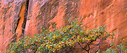 TREE IN FRONT OF SANDSTONE RED WALL IN ESCALANTE, UTAH