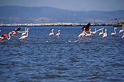 A flock of Greater Flamingo (Phoenicopterus roseus) in flight. Photographed at the Delta of Evros river, Thrace, Greece. in October