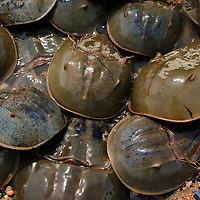 Male horseshoe crabs (Limulus polyphemus) pile on top of a female crab during a spawning event, Port Mahon, Delaware.